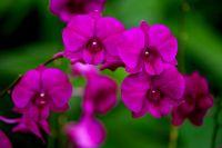 Орхидеи все чаще стали появляться в домах жителей Приангарья.