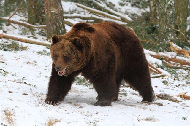 Как только намокает снег и в берлогу течёт вода, медведи выходят из спячки