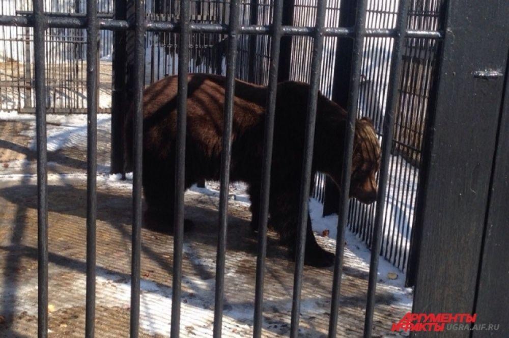 Медведь Степан старейший и самый крупный питомец «Шапшинского урочища». Он попал в питомник в 2001 году.