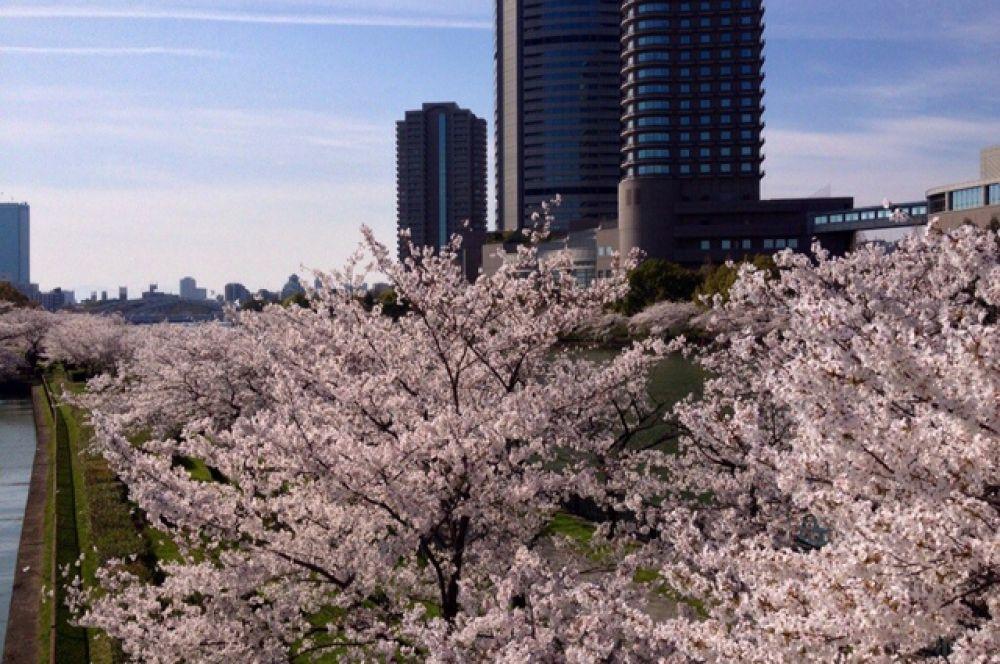 Цветение сакуры в Осаке - крупнейшем городе Японии.