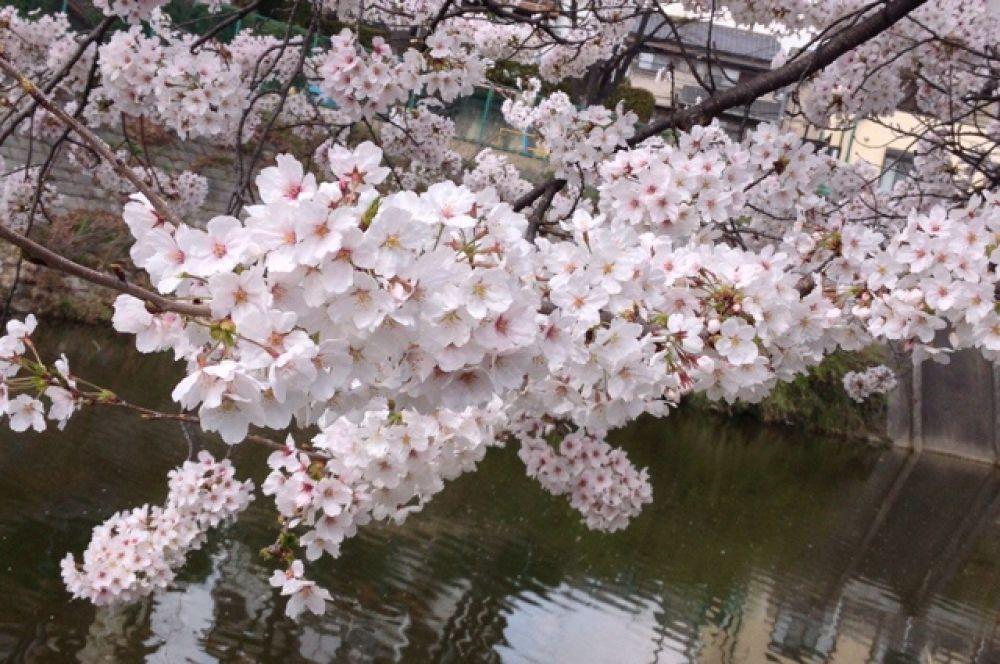 Особенно красивое зрелище представляет сакура, цветущая около водоемов.
