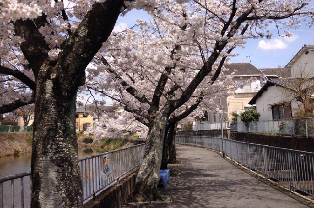 В недолгом цветении японцы видят глубокий смысл: размышляют о быстротечности и красоте жизни.