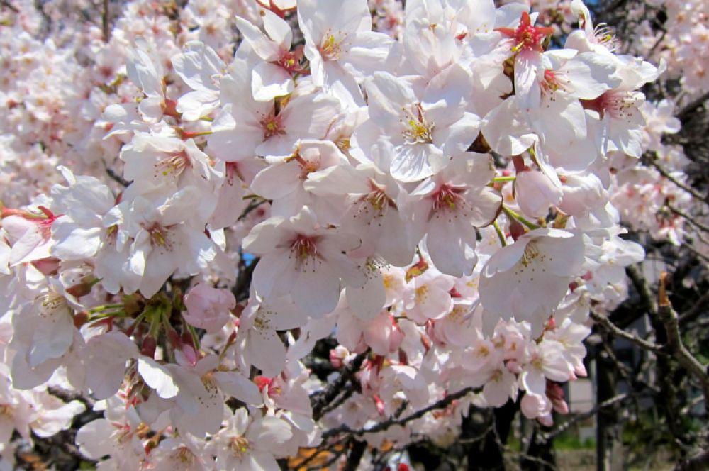 Ханами – очень кратковременное удовольствие, длится около 7-10 дней, а затем лепестки опадают.
