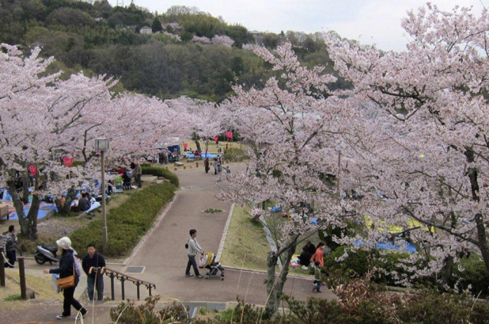 В парках и скверах с началом цветения сакуры устанавливают палатки, продающие сувениры и напитки, игрушки для детей. В эти дни сюда приходит множество желающих провести небольшой пикник под цветущими деревьями.