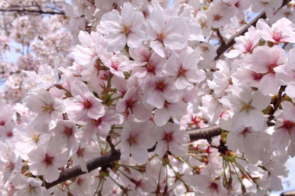 Традиция любования сакурой, как и многие другие современные японские праздники, возникла при императорском дворе. Придворные проводили часы под цветущими деревьями, наслаждаясь лёгкими напитками, салонными играми и складыванием стихов.