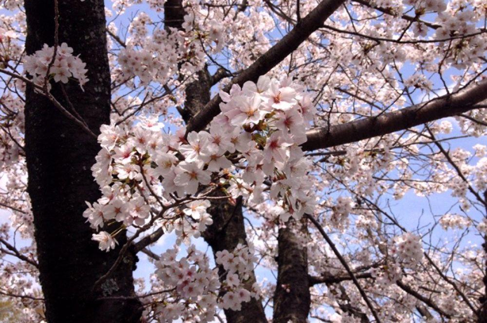 Сакура - самый известный японский цветок.