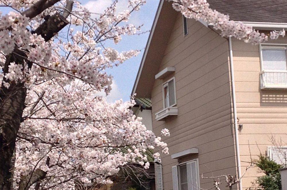 По очереди распускаются цветы на деревьях во многих районах и городах страны восходящего солнца.
