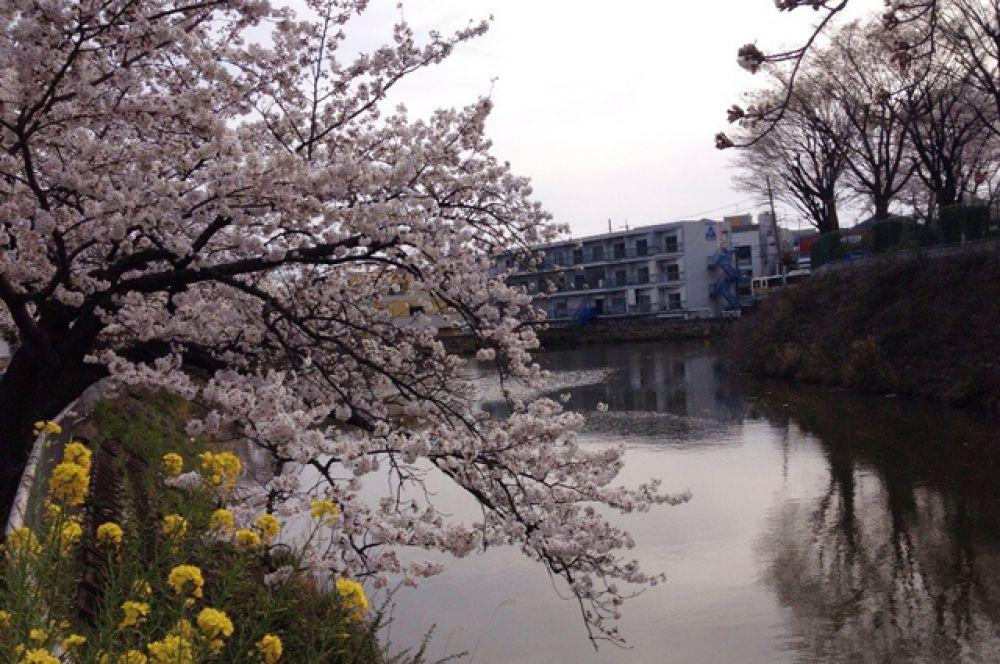 Цветением можно любоваться не только днем, но и ночью. Для этого власти округов заранее устанавливают подсветку под деревья, оттеняющую нежный цвет сакуры.