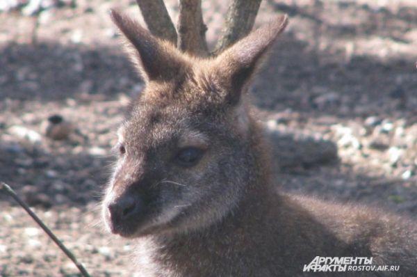 Живут в ростовском зоопарке и сумчатые млекопитающие кенгуру.