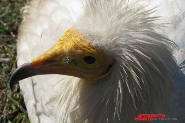Желтоклювая птица - одна из разновидностей орлана.