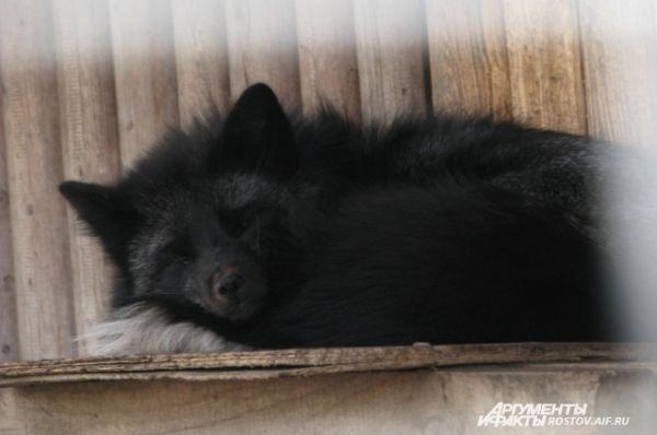 Черно-бурая лисица нежится на солнышке.