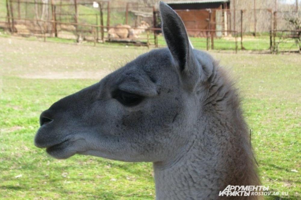 Лама - ближайший родственник верблюдов, умна и общительна.