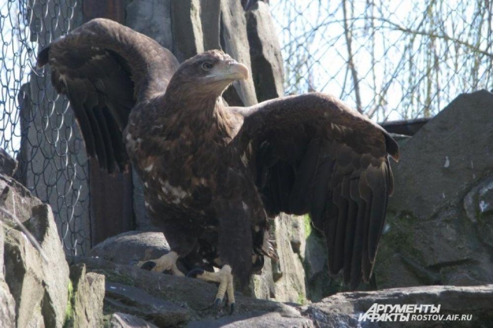 Орлан-белохвост - хищник из семейства ястребиных.