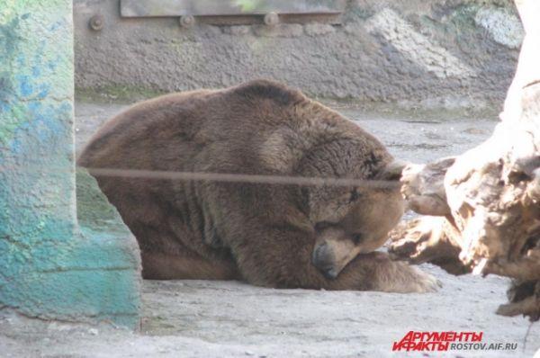 Бурый медведь Андрей греется на солнце.