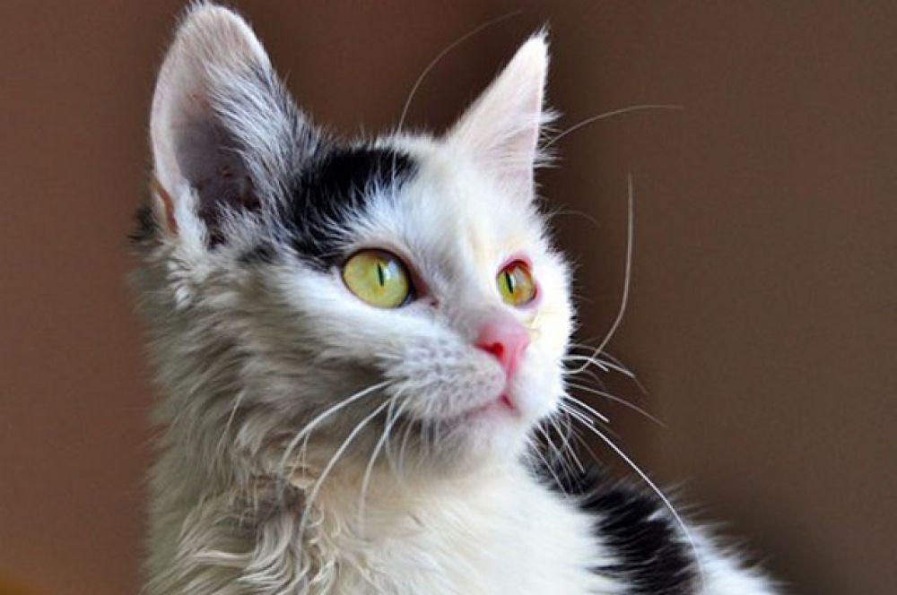 Карлуша настоящая кошка, только очень маленькая. 8-928-316-39-65 Валентина