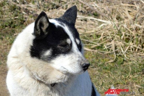 Мало кто знает, что Шарик - городской пес: хозяин привез его, трехлетнего, в Стайки пять лет назад.