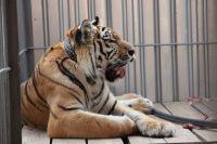 Тигр Жорик.
