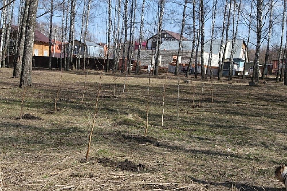 Саженцы в берёзовой роще в Пролетарском районе.