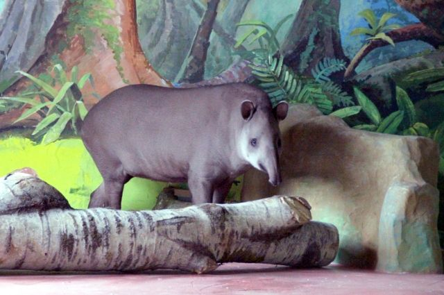 Тапир в зоопарке «Лимпопо»