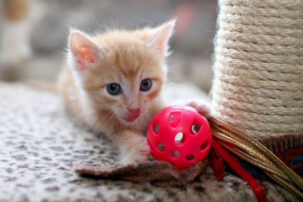 Луи. У котенка красивая набивная шерстка персикового цвета – вырастет настоящий сердцеед! Куратор Наталья 8-917-836-29-47.