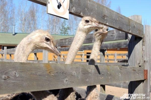 Страусам нравится общаться с посетителями.