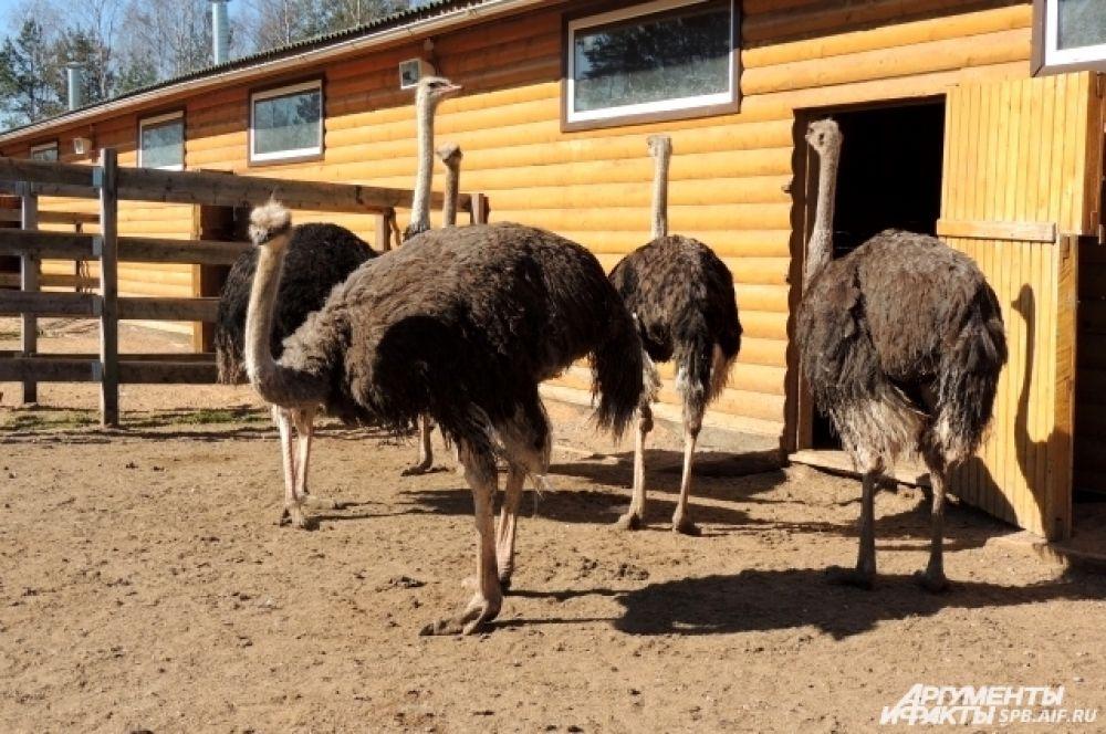 На ферме живут черные африканские страусы.
