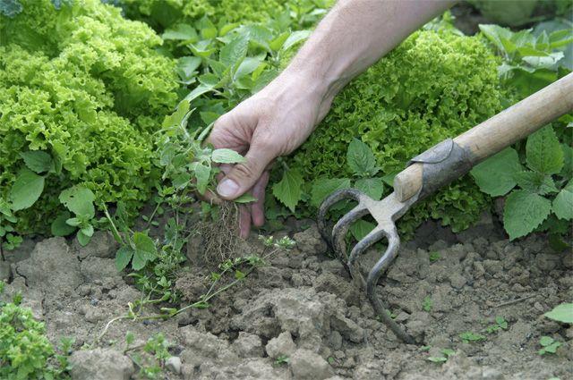 Чистый огород 5 способов борьбы с сорняками Огород