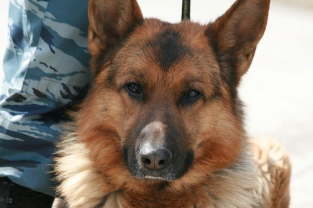 Кинологи говорят, что не каждая собака годится для несения таможенной службы. Даже чистопородность и богатая родословная отнюдь не гарантируют высоких рабочих качеств пса.