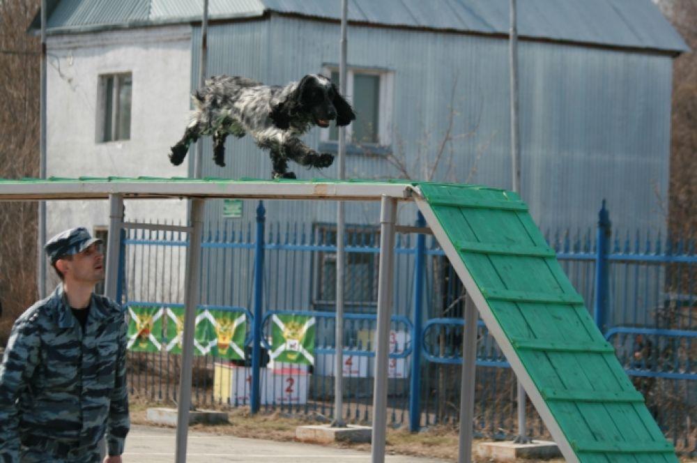 За кинологом в каждой таможне закрепляется собака, которую он обучает, дрессирует на специальных тренажерах.