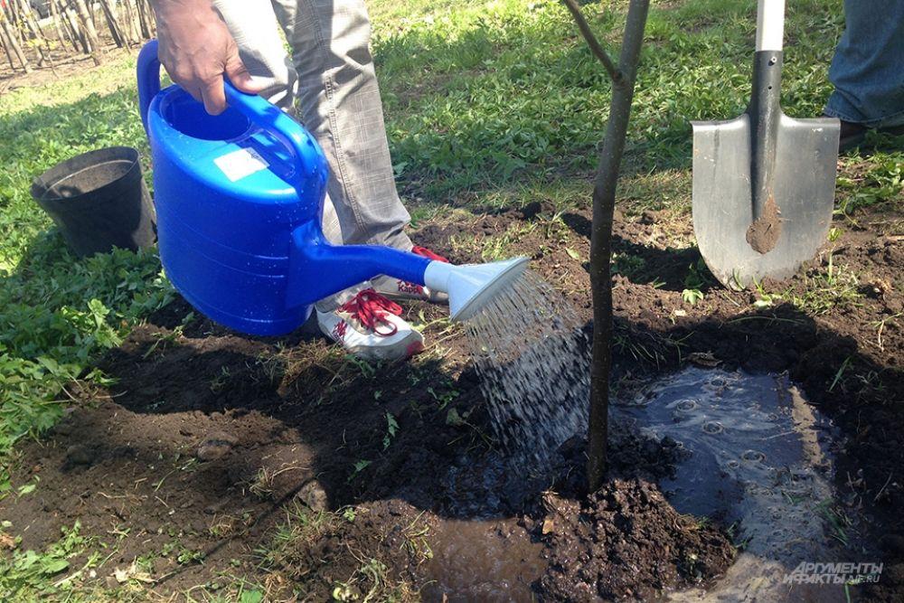 Агрономы дают советы: создать земляной валик вокруг и обильно полить высаженное дерево.