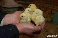 Когда цыплят становится всё меньше, яиц хочется всё больше.