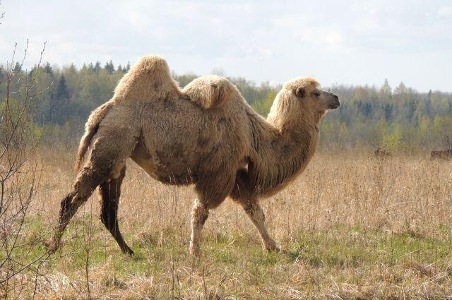 Ферма в Марьино - единственное место в регионе, где верблюды живут в естественных условиях.