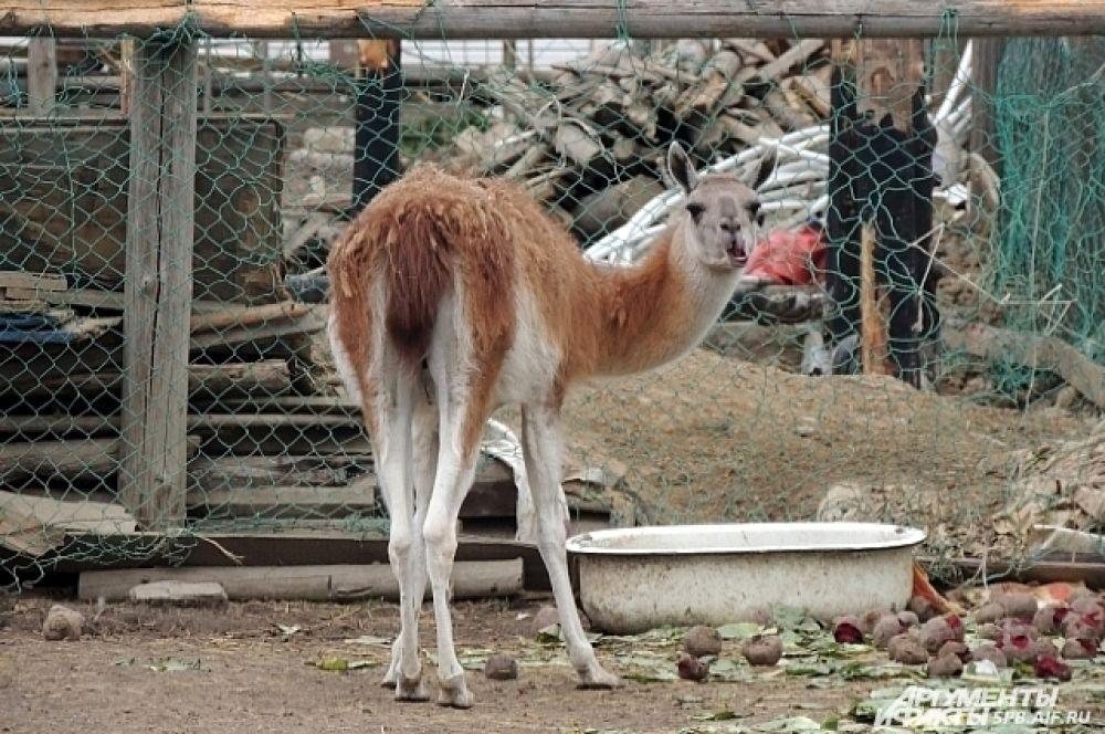 У ламы обеденный перерыв.