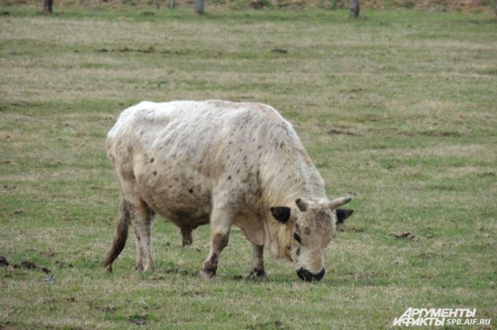 Якутского быка можно встретить даже не в каждом зоопарке.