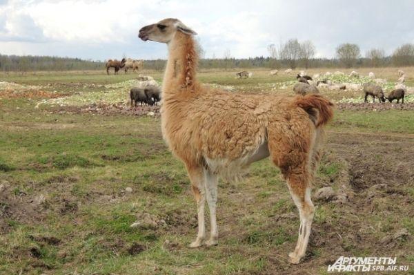 Лама Зоя всегда ходит за верблюдами.