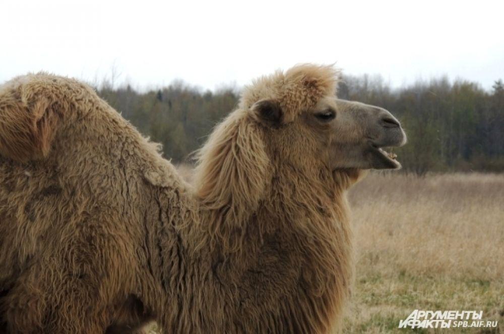 Федя появился на ферме еще верблюжонком.