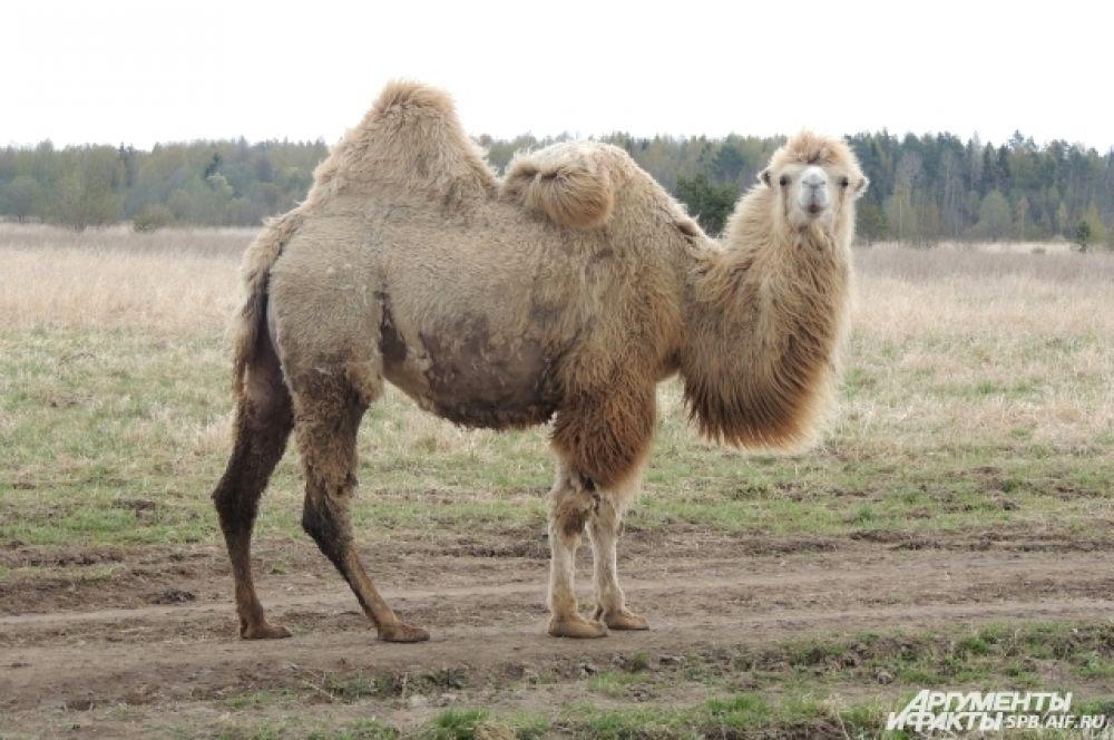 В реальной жизни верблюд гораздо больше, чем по телевизору.