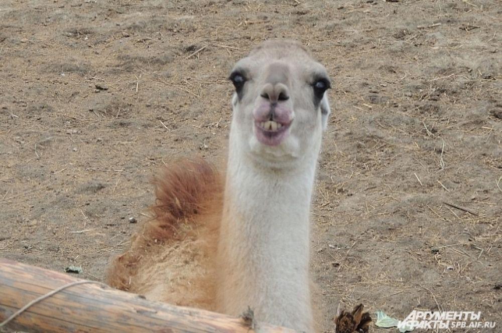 Лама - симпатичное и забавное животное.