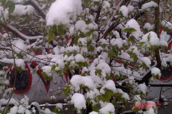 Снегом на зеленых листьях сегодня в Иркутске никого не удивишь.