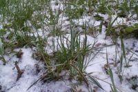Снег выпал на зелёную траву и деревья.