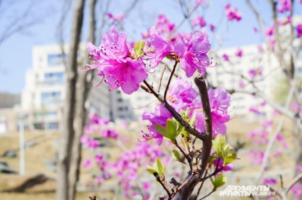 В поэзии сакура ассоциируется с ушедшей юностью и любовью, что символично для кампуса.
