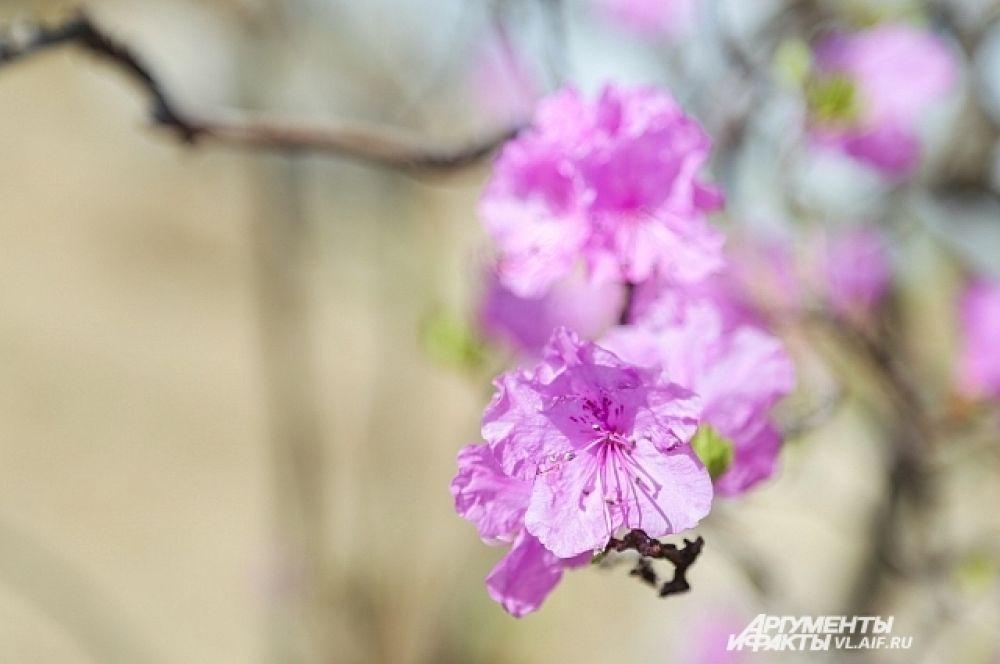 Цветение длится недолго - несколько дней на майские праздники.