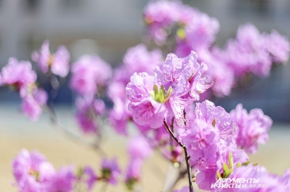 Очарование цветущего дерева недаром породило в Японии ритуал любования цветущей сакурой и любимый народный праздник, совпадающий с приходом Нового года. Может, и нам его перенести с января на май?
