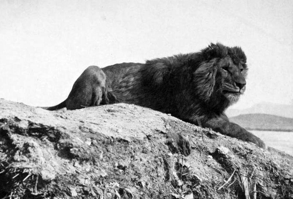 Барбарийского льва еще называли атласским или нубийским. Он обитал на севере африканского континента и был самым крупным среди всех видов львов. Барбарийские львы не объединялись в прайды, а жили поодиночке из-за скудности пропитания. Популяция вида сократилась из-за распространения огнестрельного оружия и истребления хищника. Последний свободный лев был застрелен в 1922 году в Марокко.