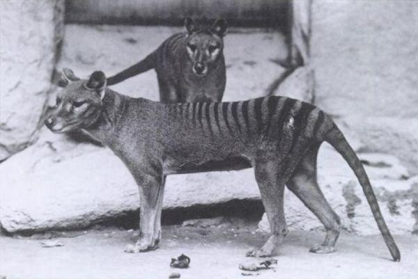 Тасманийского волка еще называют сумчатым волком. В переводе с научного названия - «сумчатое с собачьей головой». Из-за того, что волк разорял фермерские птичники и нападал на пасущихся овец, человек стал истреблять зверя. В итоге последний тасманийский волк в дикой природе был подстрелен в 1930 году.