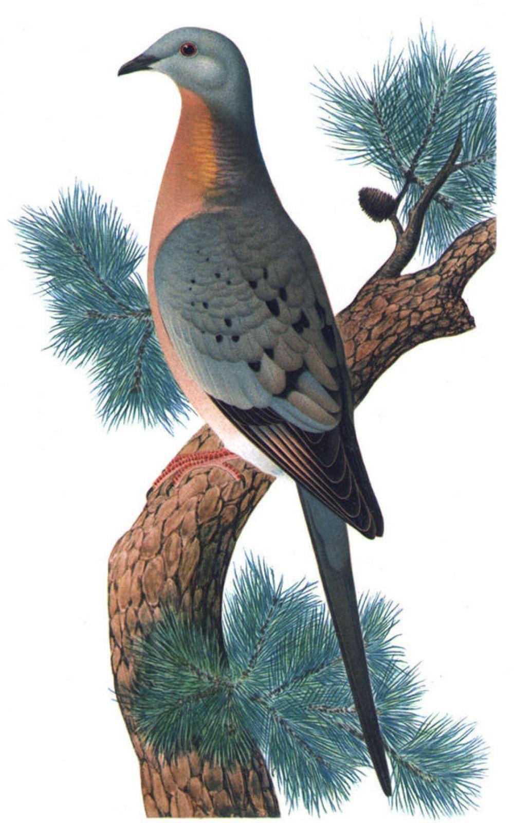 Вплоть до XIX века Странствующий голубь считался самой распространенной птицей на Земле. Известный американский орнитолог Александр Уилсон наблюдал в начале XIX века стаю, которая пролетала над ним 4 часа без остановки. В небе она растянулась на 380 км. Сложно поверить, что в 1914 году последний представитель этого вида уже умер. Основная причина вымирания вида – деятельность человека. Голубей сбивали рогатками, ружьями. Потом - пулеметами. Убивали столько, сколько могли убить.