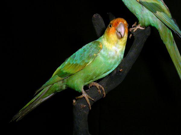 Красивый, с ярким оперением Каролинский попугай был единственным представителем семейства попугаевых на североамериканском континенте. Американские земли осваивались, леса вырубались, болота осушались, и менялась привычная для Каролинского попугая среда обитания. Для садовых деревьев пернатый представлял опасность, поэтому птицу стали массово уничтожать. В 1918 году умер последний представитель вида.
