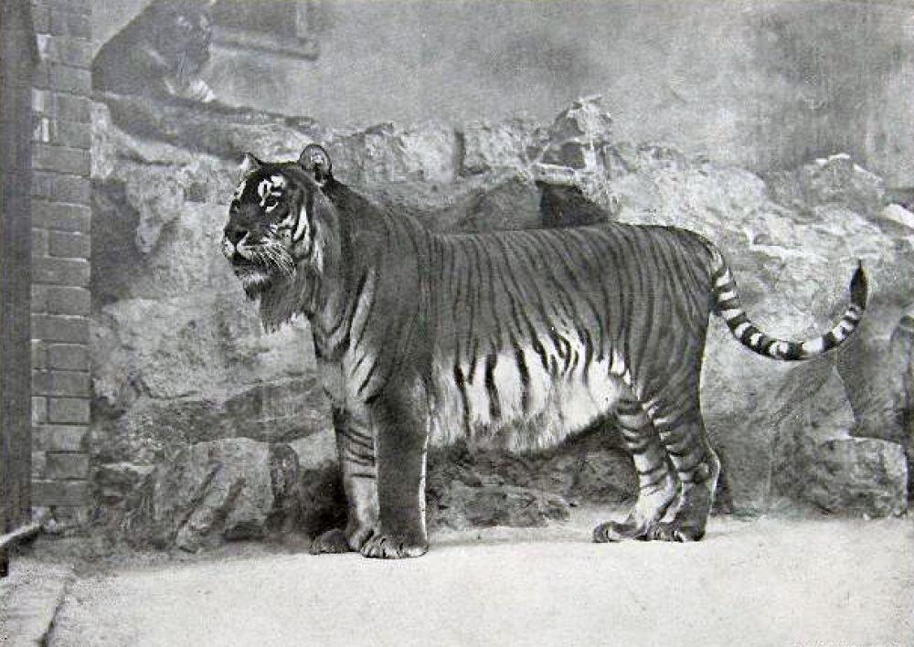 Закавказский тигр обитал в Средней Азии, Иране и на Кавказе. Значительное влияние на снижение численности популяции тигров оказали русские переселенцы, истребляющие опасных хищников. Также освоение земель, их окультуривание в руслах среднеазиатских рек лишало тигров их основного корма — кабанов и косуль. Представителя закавказского тигра последний раз видели в 1957 году.