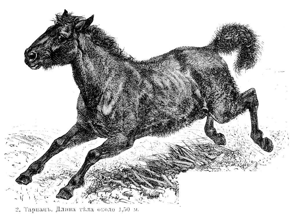 Тарпан - вымерший предок современной лошади. Распашка человеком степей под поля для домашнего скота, пастбищ, водопоя и – как следствие – вытеснение тарпана с его территории - вот основная причина вымирания вида. Последний жеребец умер в 1918 году в имении около Миргорода. Недавно в польской части Беловежской Пущи ученые сумели искусственно вывести тарпановидных лошадей из особей, собранных по крестьянским хозяйствам, в которых ранее оказывались тарпаны. Выглядят они точно как древние дикие тарпаны.
