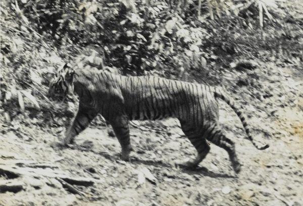 Яванский тигр – это подвид тигра, обитавшего на индонезийском острове Ява. Тигр потерял свою среду обитания вследствие разрастания сельского хозяйства. В 1950 году было зафиксировано всего 25 особей, а с 1984-го по 1993-й год учёные не смогли найти никаких доказательств существования подвида, и он был признан вымершим. Последнего яванского тигра видели в природе в 1979 году.